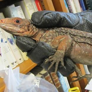 Ealing Times: One of 13 endangered iguanas that have been seized by Border Force officers at Heathrow (Border Force/PA)