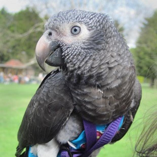 Ealing Times: Wunsy the African grey parrot which saved his owner after she was pushed to the ground in a park.
