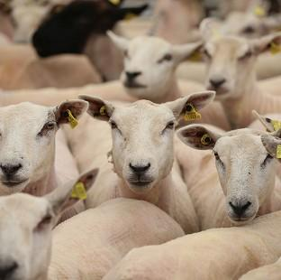 Ealing Times: The ethics of the sheep experiments have been called into question by campaigners