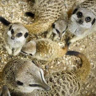 Several meerkats were part of the cargo of a stolen van