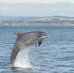 A bottlenose dolphin jumping in the North Sea.